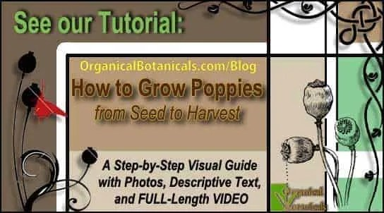 TUTORIAL: Growing Papaver Somniferum Poppies