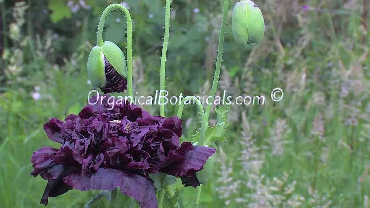Izmir india black papaver somniferum peony poppy seeds organical izmir india black papaver somniferum peony poppy flower seeds mightylinksfo