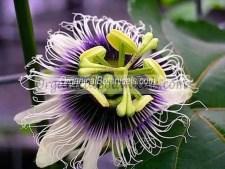 PASSIFLORA EDULIS FLAVICARPA seeds
