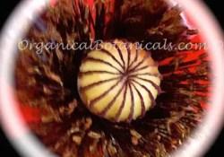 Tulip Poppy Seeds