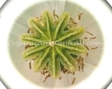 White Afghan Peshawar Papaver Somniferum Poppy Seeds