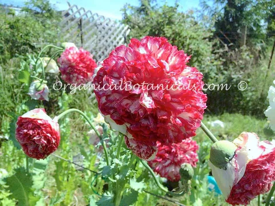 Pink Flemish Antique Peony Papaver Somniferum Poppies