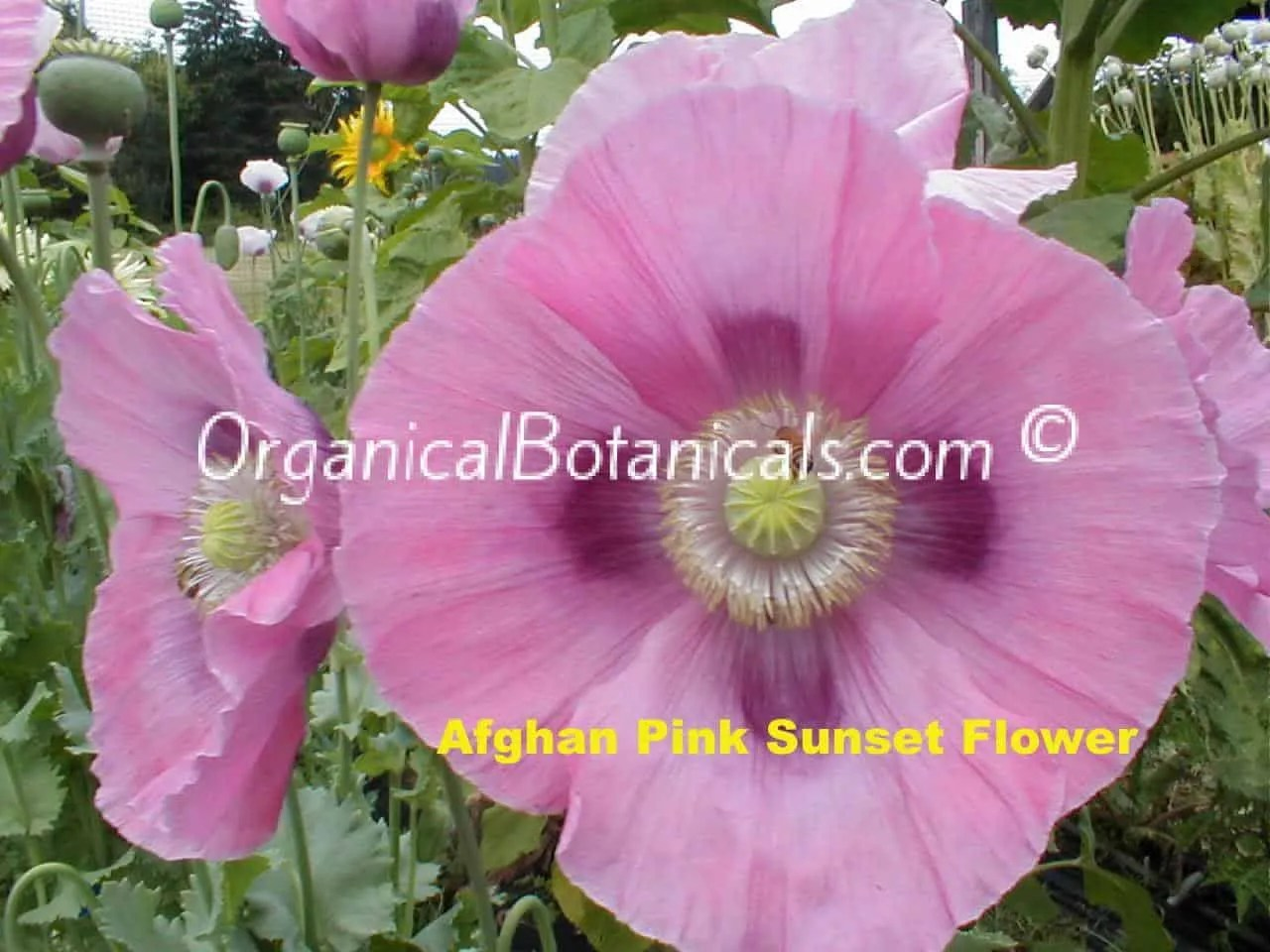 'Afghan Pink Sunset' Papaver Somniferum Poppy Flower