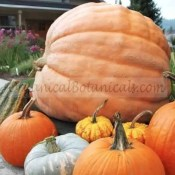 Dills Atlantic GIANT Pumpkin Seeds - Untreated or Treated