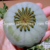Giganteum Papaver Somniferum GIANT Poppy Seed Pod