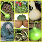 GIANT Gourd Seeds Mixed - Cavemen