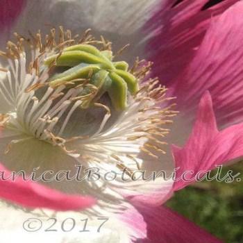 Izmir Afghan Papaver Somniferum Poppy