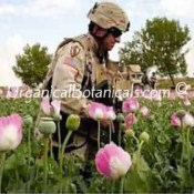 Izmir Afghan Papaver Somniferum Opium Poppy Flowers and Pods
