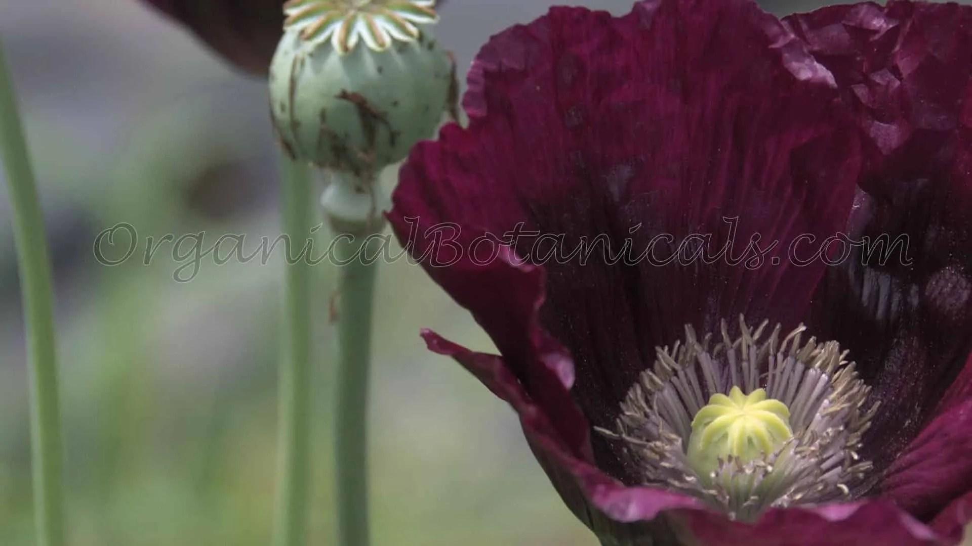 Laurens grape single black somniferum poppy seeds organical botanicals laurens grape deep purple papaver somniferum opium poppy flower by organical botanicals mightylinksfo