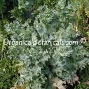 Over 75 PODS on 1 Poppy Plant