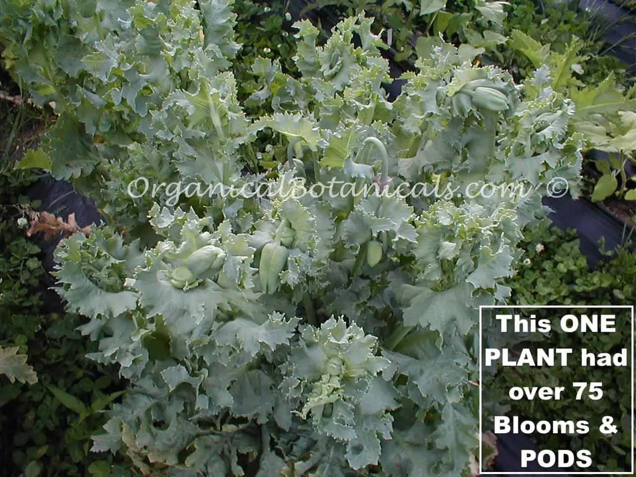 Hungarian Blue Buddha Papaver Somniferum Poppy Seeds Organical