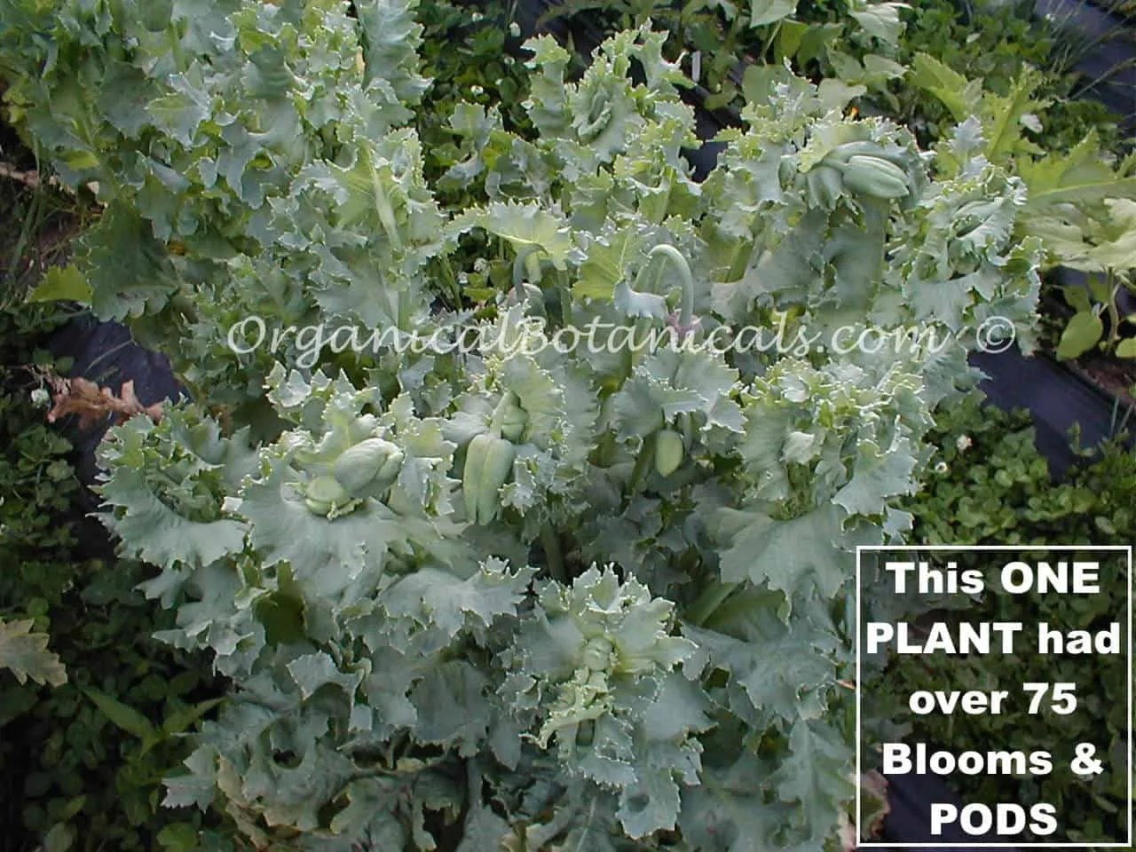 Over 75 PODS ONE Hungarian Blue Poppy Plant