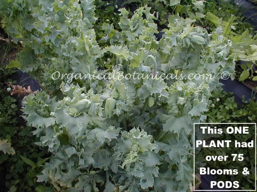 Over 75 PODS - ONE Poppy Plant