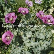 Hungarian Blue Poppy Plant w/ over 75 Pods