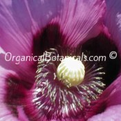 Hungarian Blue Poppy Flower – Somniferum