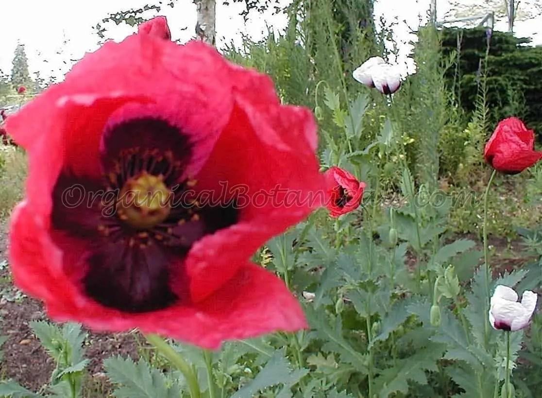 Papaver Setigerum Poppy Flower from Seeds by Organical Botanicals