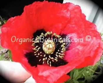 Papaver Setigerum Poppy Seeds Organical Botanicals