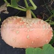 Peanut Pumpkin Thick Bumpy Rind Seed 2