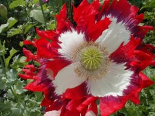 USA Flag RED White Blue papaver somniferum poppy flower | Seed by OrganicalBotanicals