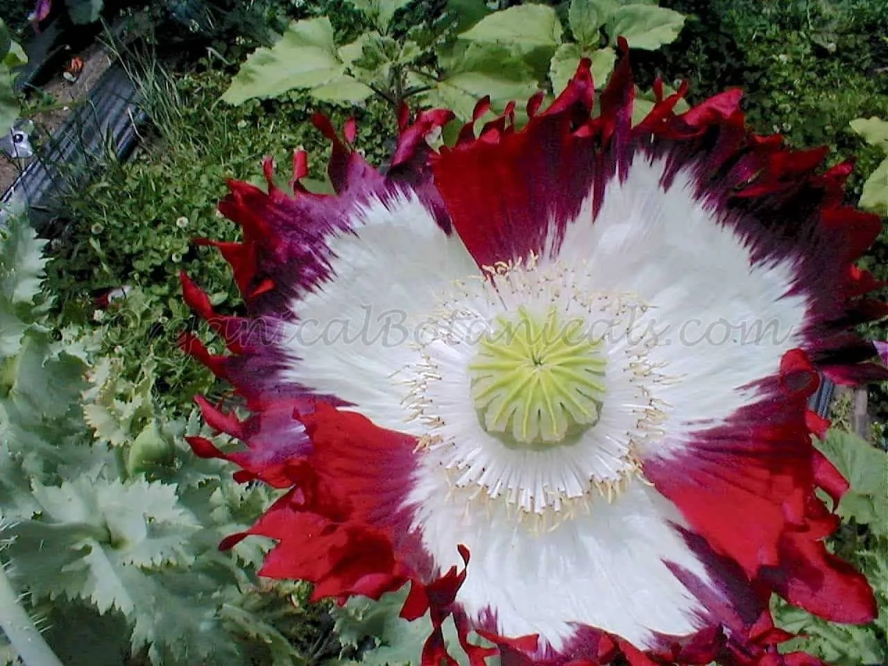 100 Usa Flag Papaver Somniferum Poppy Seeds New Organical