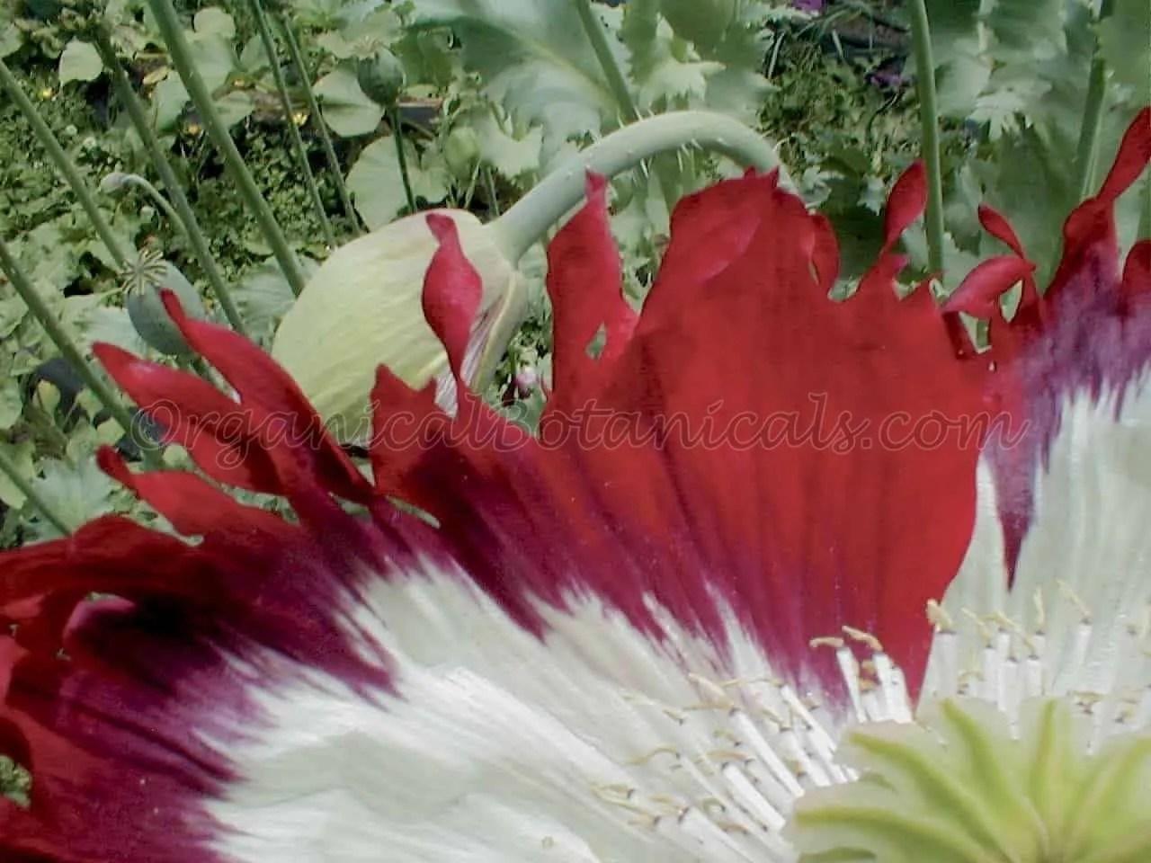 USA Flag RED White Blue papaver somniferum poppy flowers