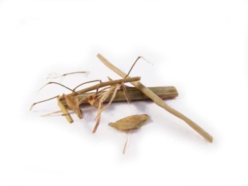 Hang Low Organic Chinese Herbs - Bai Jiang Cao (Nan) (Thlaspi)