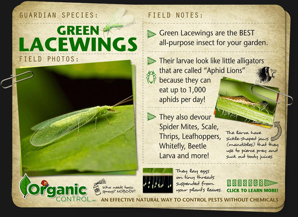 https://organiccontrol.com/green-lacewings/