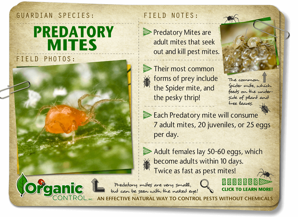 http://organiccontrol.com/predatory-mites/