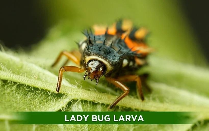 Lady Bugs Organic Control Inc