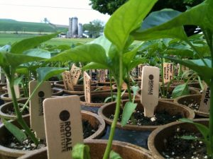 Rodale Institute Pepper Plants