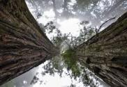"""Image of giant sequoia redwood tree as a representative of """"massive growth"""" within the context of your business, which is achieved in part by figuring out your Unique Selling Proposition."""