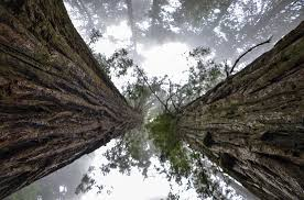 "Image of giant sequoia redwood tree as a representative of ""massive growth"" within the context of your business, which is achieved in part by figuring out your Unique Selling Proposition."