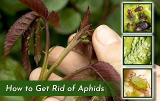 hand inspecting aphids on plant with three square images of other aphid infested plants