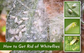 photo of plant with whitefly infestation and tree square images of closeups of whiteflies