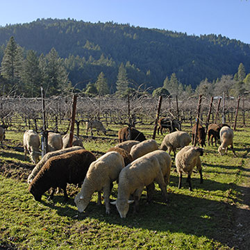 SheepInPinotVineyard