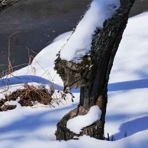 Frontenac Provincial Park - Beaver activity near the Boardwalk