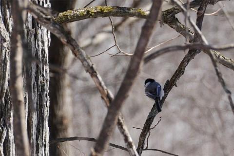Frontenac Provincial Park - Chickadee