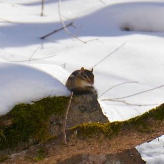 Frontenac Provincial Park - Chipmunk