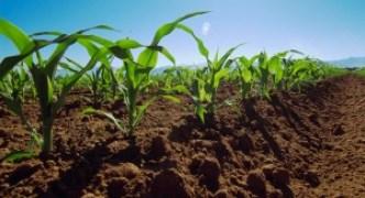 Vista al campo de cultivo sano de maíz