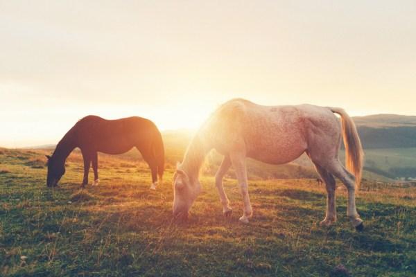 horses-grazing