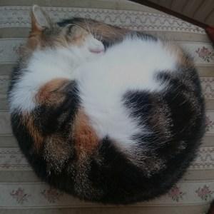 Katten Maja ligger ihoprullad och sover