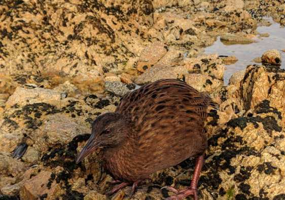 Weka bird on Ulva Island, near Steward Island New Zealand