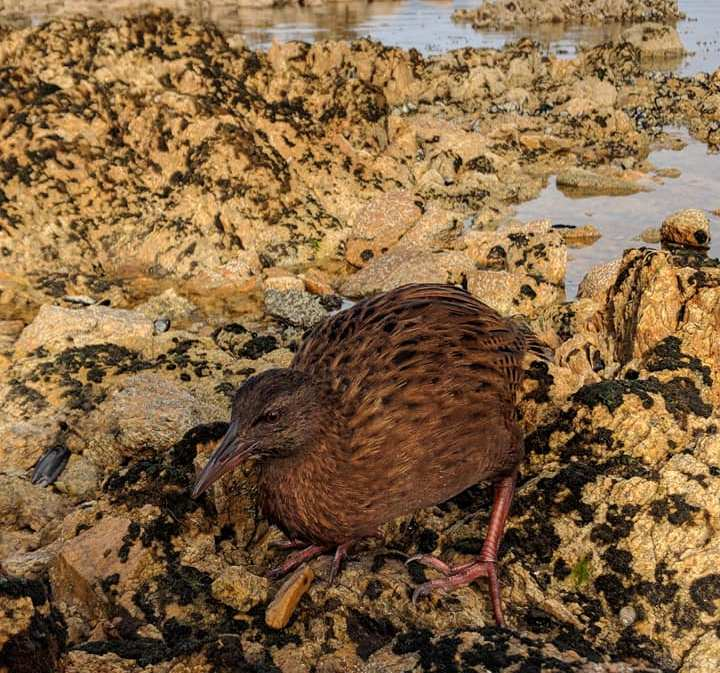Weka bird on Ulva Island, near Steward Island New Zealand