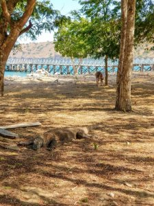 A deer tempts fate behind a sleeping dragon on Komodo Island