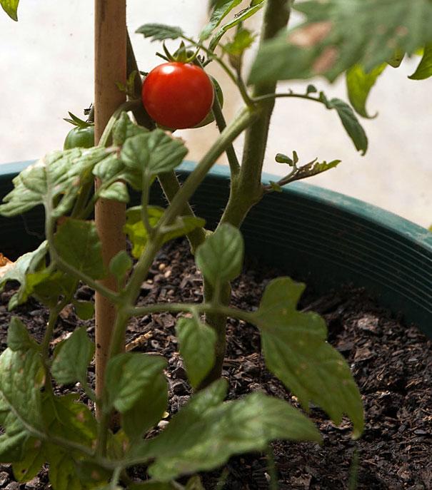 Ripe Cherry Tomato on the Vine