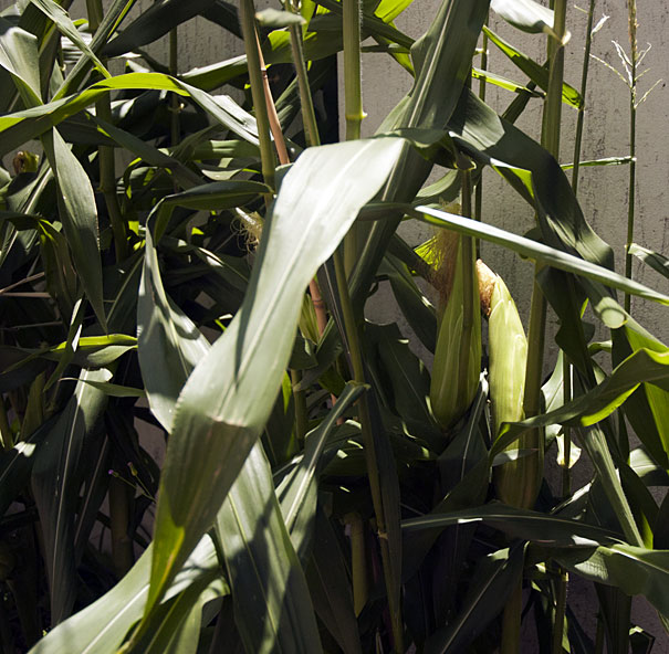 growing corn in a small patch