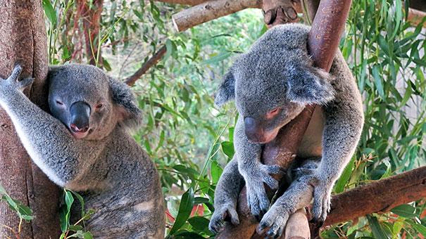 Koalas at Australia Zoo