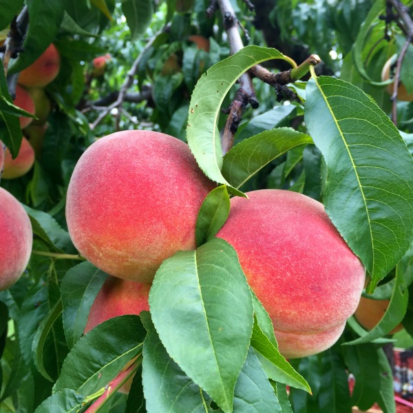 Penticton Peaches