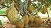 meningkatkan kualitas durian