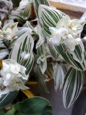plantele tradiționale își pierd greutatea)